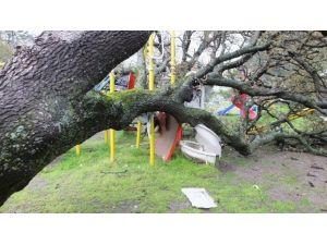Aşırı Yağmur Tarihi Meşe Ağacını Devirdi
